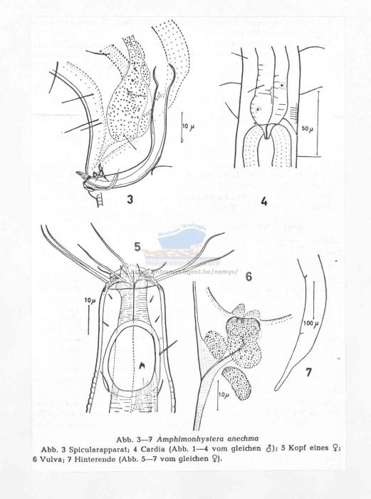 Amphimonohystera anechma