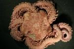 Ophiopholis aculeata