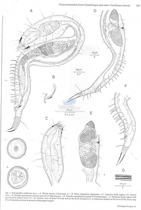 Dracograllus antillensis