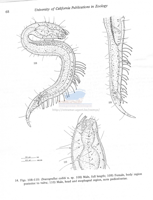 Dracograllus cobbi