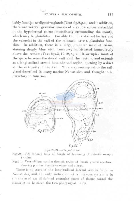 Dracograllus falcatum