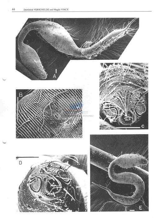 Dracograllus gilbertae
