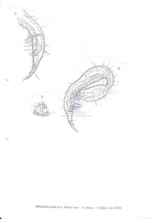Dracograllus pusilus