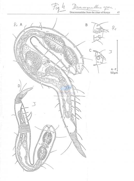 Dracograllus