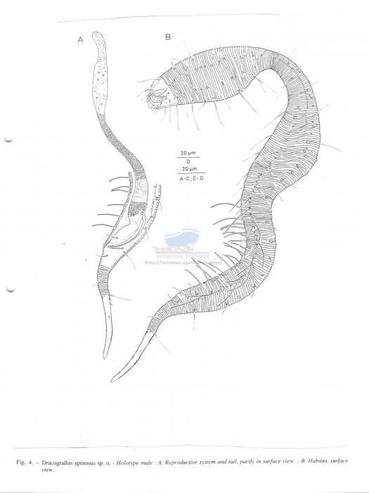 Dracograllus spinosus