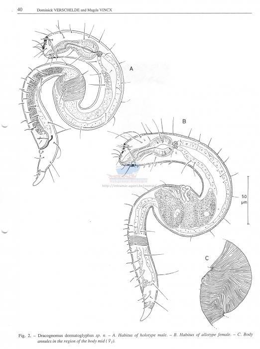 Dracognomus dermatoglyphus