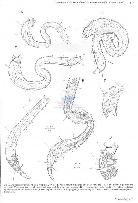 Dracognomus marioni