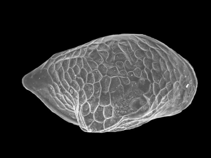 Cytheroidea