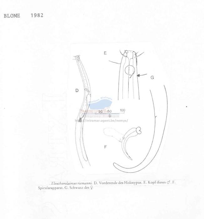 Eleutherolaimus riemanni