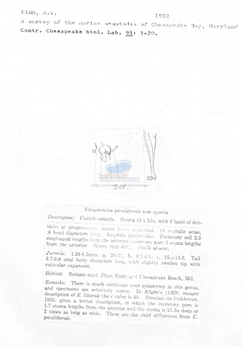 Eurystomina paralittorale