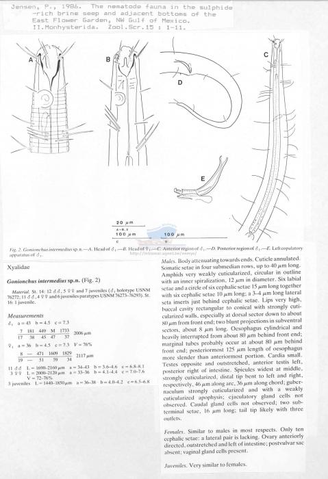 Gonionchus intermedius