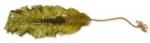 Laminaria saccharina