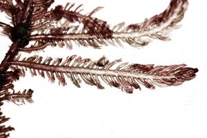 Ptilota plumosa