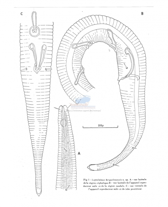 Leptolaimus kerguelensis