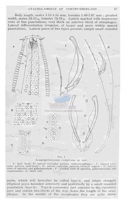 Marilynia complexus