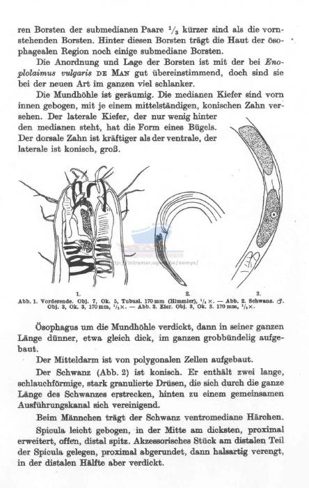 Mesacanthion gracilisetosus