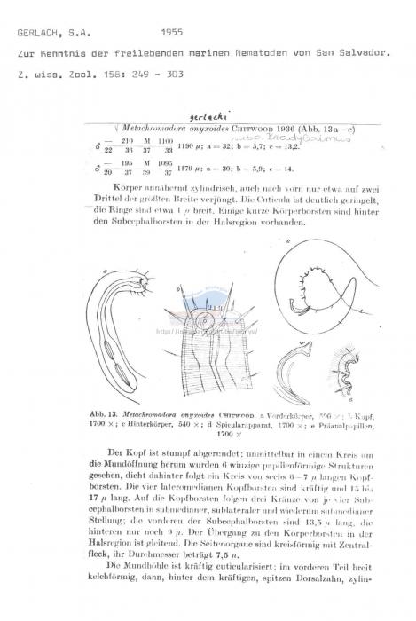 Metachromadora gerlachi