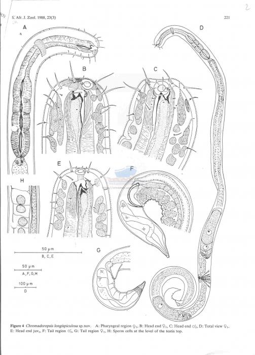 Metachromadora longispiculosa