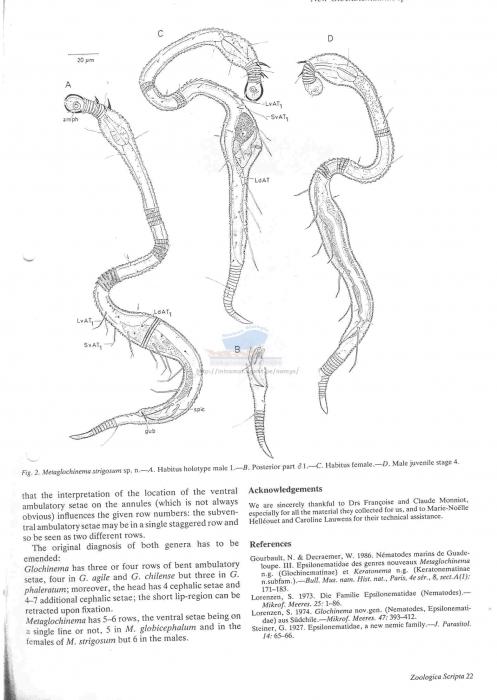 Glochinema strigosum