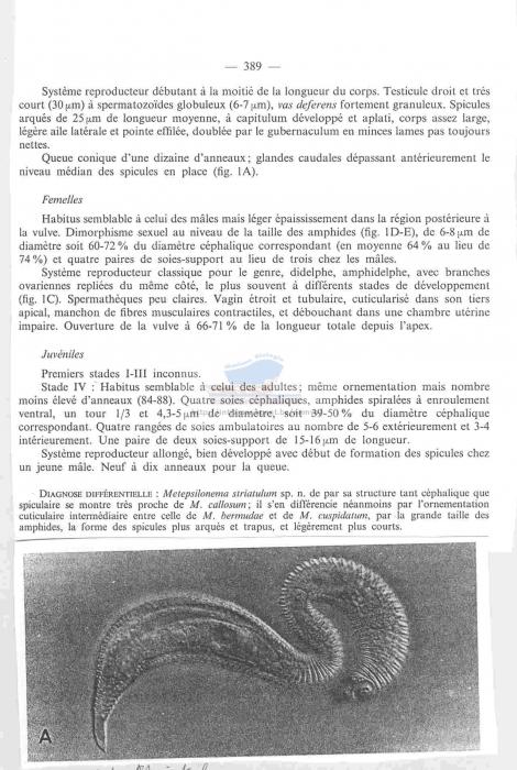 Metepsilonema striatulum