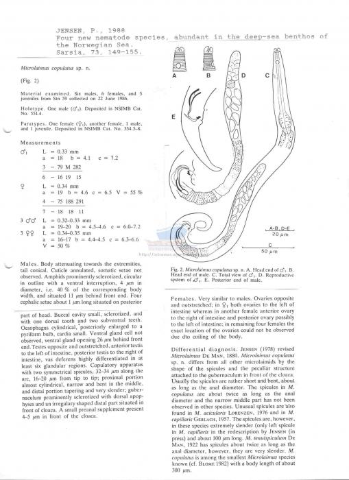 Microlaimus copulatus