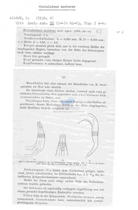 Microlaimus zosterae