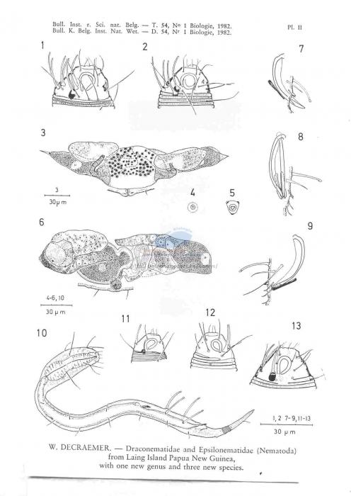 Paradraconema floridense