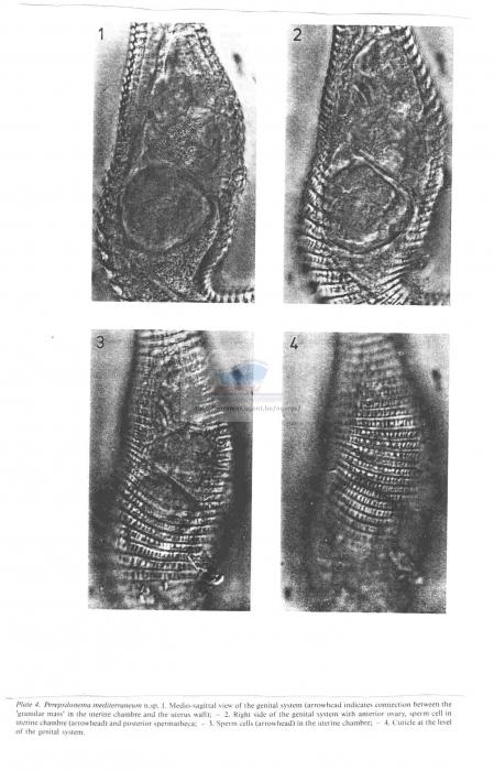 Perepsilonema mediterraneum