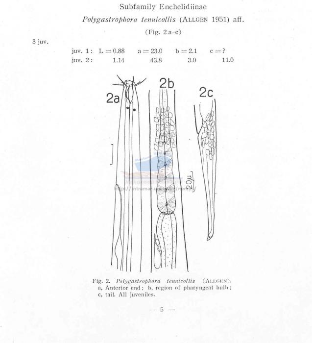 Polygastrophora tenuicollis