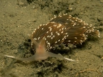 Facelina bostoniensis (Couthouy, 1838)