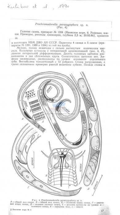 Prochromadorella parazygophora