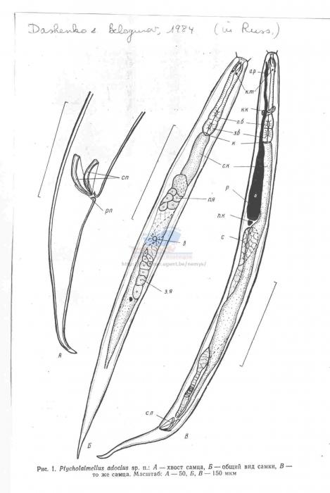 Ptycholaimellus adocius