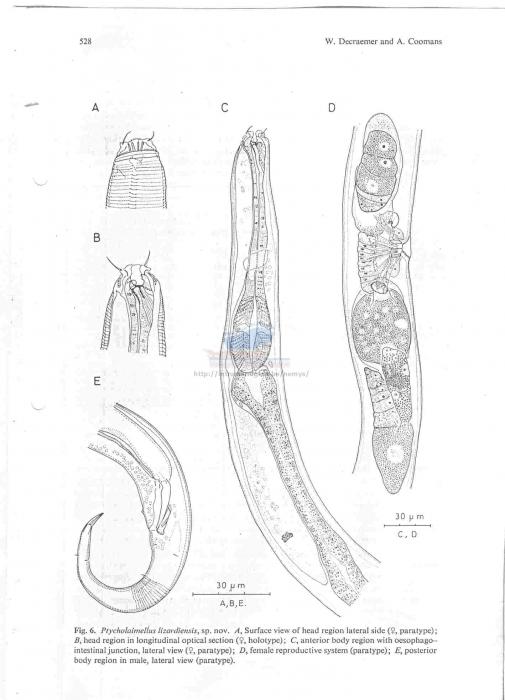 Ptycholaimellus lizardiensis