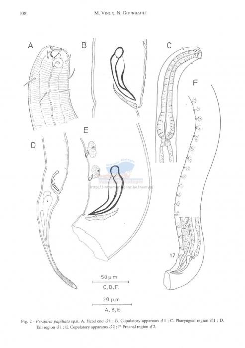 Spirinia papillata