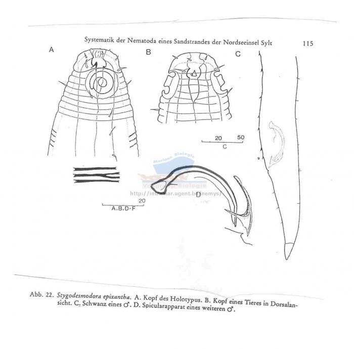 Stygodesmodora epixantha