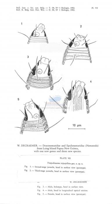Triepsilonema tripapillata