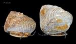 Gibbula cineraria (Linnaeus, 1758) northern morphotype