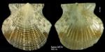 Parvamussium fenestratum (Forbes, 1844)