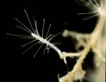 Polyp colony of Turritopsis dohrnii, Italy, Mediterranean