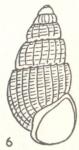 Rissoina iredalei Laseron, 1950 [p. 262; fig. 6]