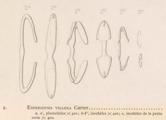 Topsent 1904b, pl 17 fig 2