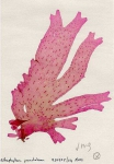 Nitophyllum punctatum (Stackhouse) Greville