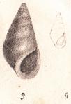 Rissoina tridentata Michaud, 1830