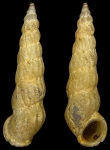 Opalia hellenica