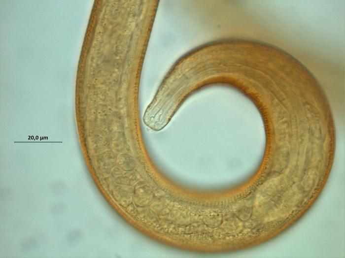 Calomicrolaimus compridus, head region